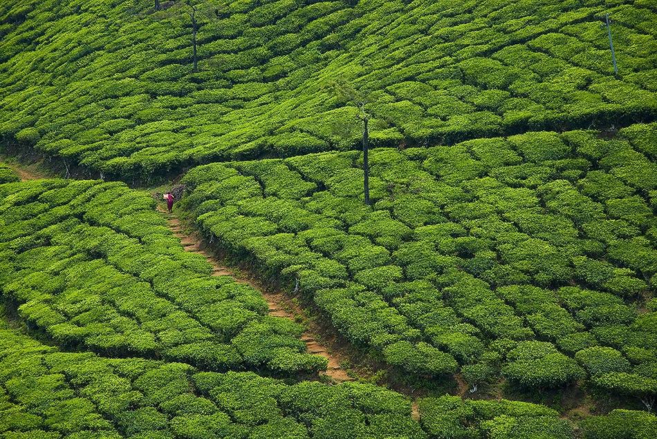 Tea Terraces near Thekkady, in Kerala, India.