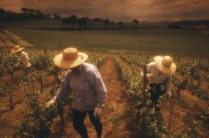 Trimming vines at Trerose Vineyard