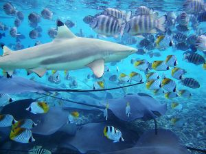 Feeding time in the Bora Bora Lagoon