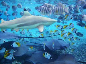 Feeding time in the Bora Bora Lagoon