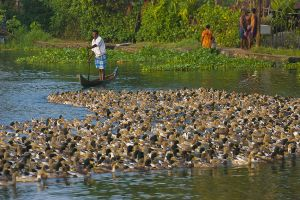 Herding ducks on Kerala backwaters.