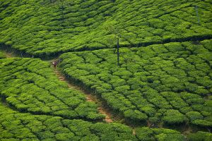 Tea terraces near Thekaddy.