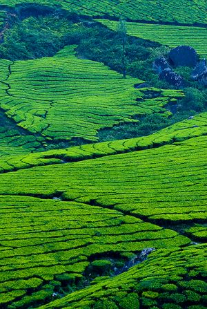 Tea terraces near Munnar.