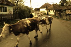 The cows come home in the evening in Miklosvar